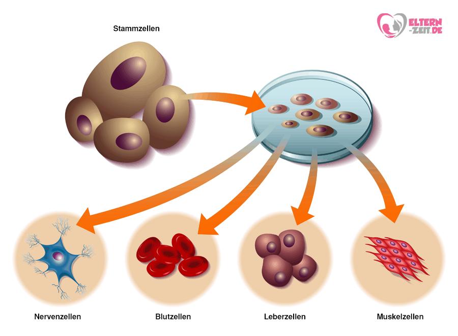 Stammzellen Nabelschnurblut